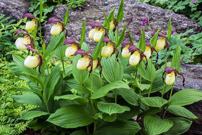 page 53,The Rock Garden features diverse habitats that provide the perfect growing conditions for plants ranging from woodland lady slipper orchids