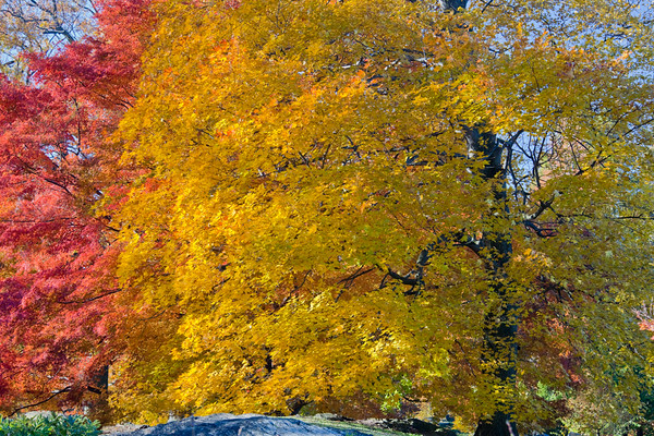 Japanese and Shantung Maples
