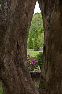 155, The maples are adjacent to the tree peonies and the Rose Garden.
