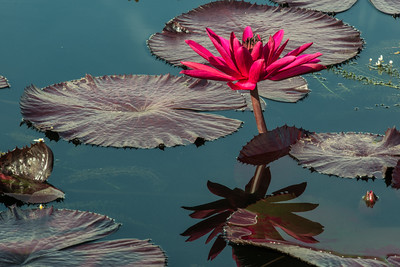 108, 'Red Flare' is a tropical water lily with rich-burgundy foliage and brilliant-magenta flowers.