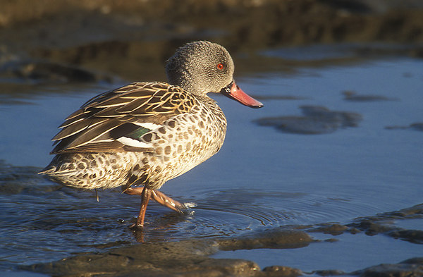Cape Teal.