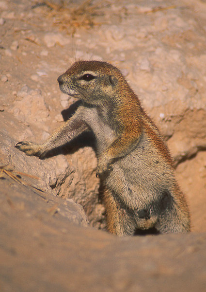 Ground squirrel.
