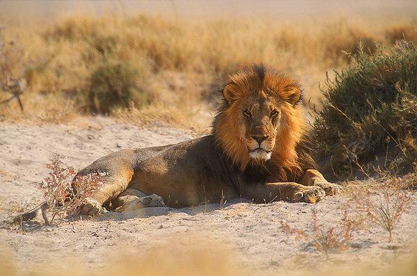 Lion. John Chapman.