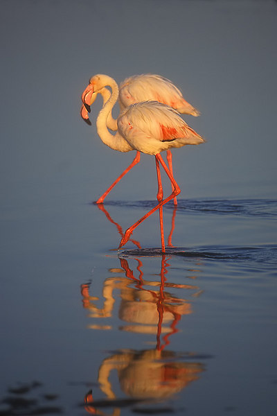 Flamingo. John Chapman.