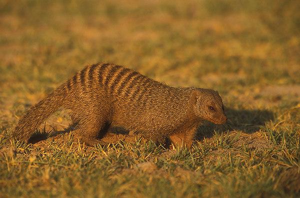 Banded Mongoose. John Chapman.