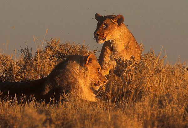 Lions. John Chapman.
