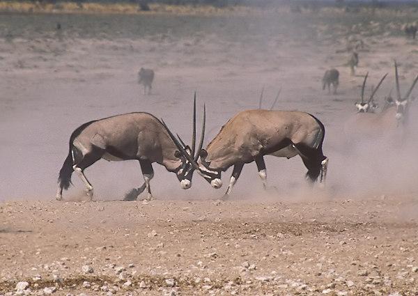 Oryx. John Chapman.
