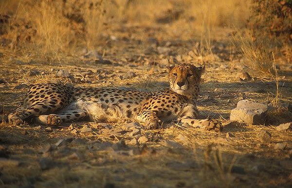Cheetah Relaxing. John Chapman.