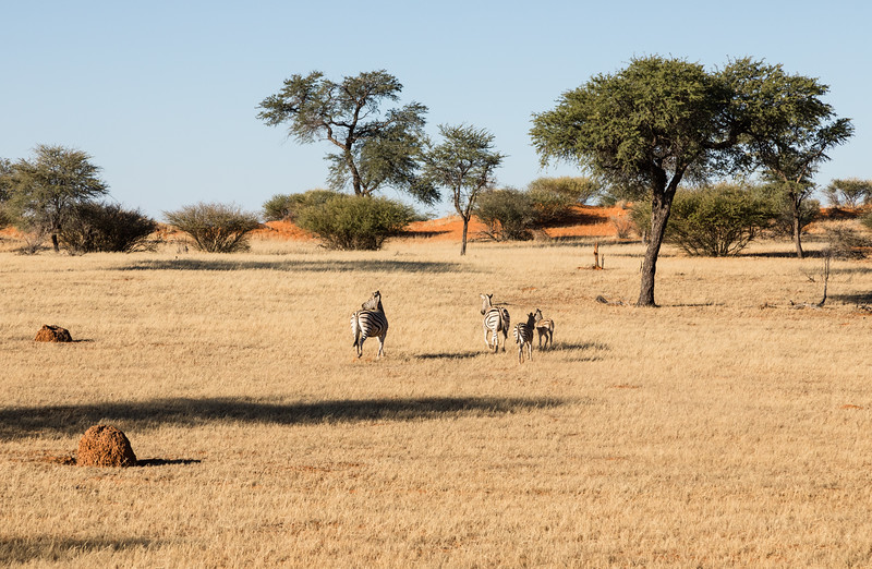 Family of zebras in the Kalahari