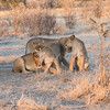 Four young lions showing affection to each other
