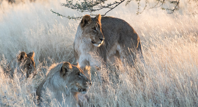 Three young attentive lions