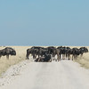 Group of Blue Wildebeests blocking our road