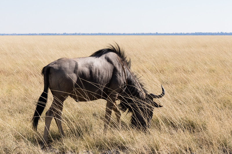 Foraging Blue Wildebeest