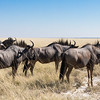 Group of Blue Wildebeests braving the midday sun