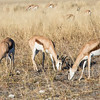 Group of springboks eating savannah grass