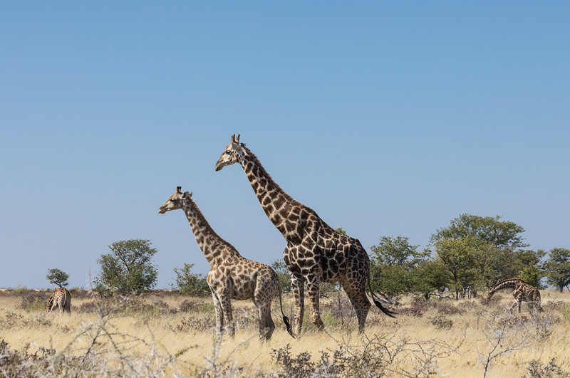 Adult giraffe next to a young one
