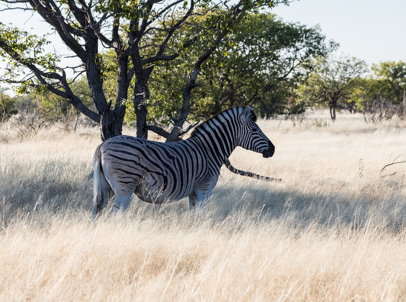 Burchell's zebra found a shady place in the heat of the day