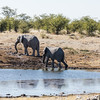 Two male elephants leaving a waterhole