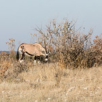 Strong Oryx searching for something edible