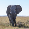 Elephant getting very close
