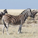 Burchell's zebras and one Blue Wildebeest