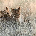 Lions are affectionate animals