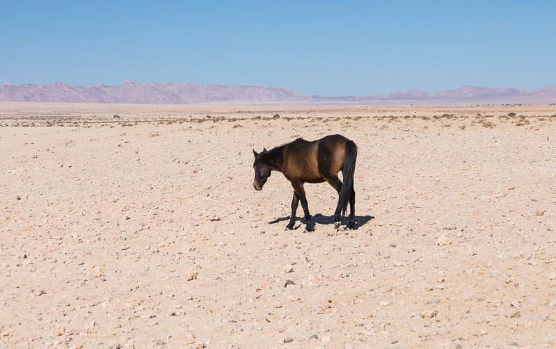 Feral horse alone in the desert