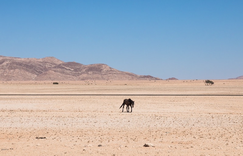 Lone feral horse in the Namib desert