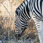 Burchell's zebra foraging