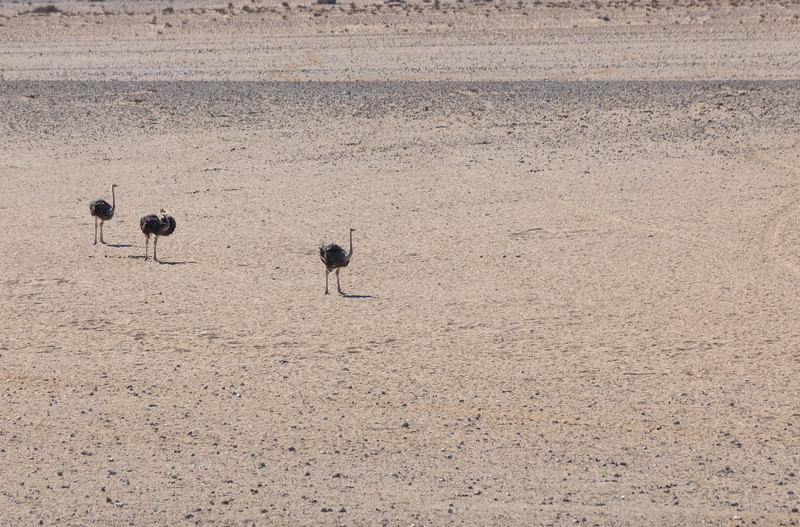 Three ostriches in the dessert