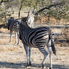 Three Burchell's zebras