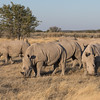 White Rhinoceros in the late afternoon sun