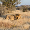 Male lion walking in the savannah grass