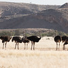 Seven ostriches in the savannah in Damaraland