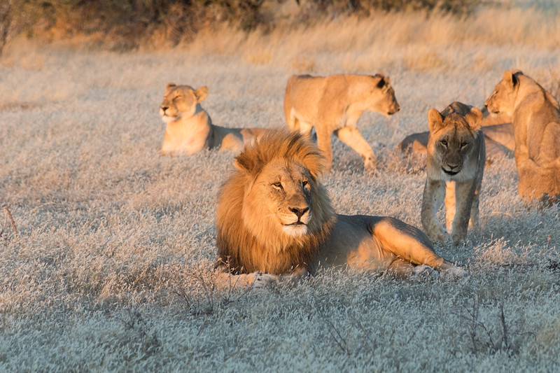 Male lion and his harem