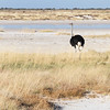 Ostrich heading for the waterhole
