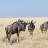 Blue Wildebeest wondering who we are