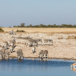 Burchell's zebras and one springbok drinking at a waterhole
