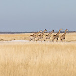 Seldom seen group of giraffes