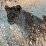 Young lion in front, two hiding behind