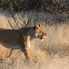 Lioness walking in the savannah grass