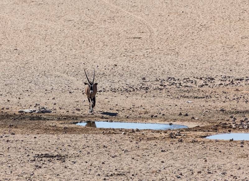 Oryx approaching a tiny waterhole