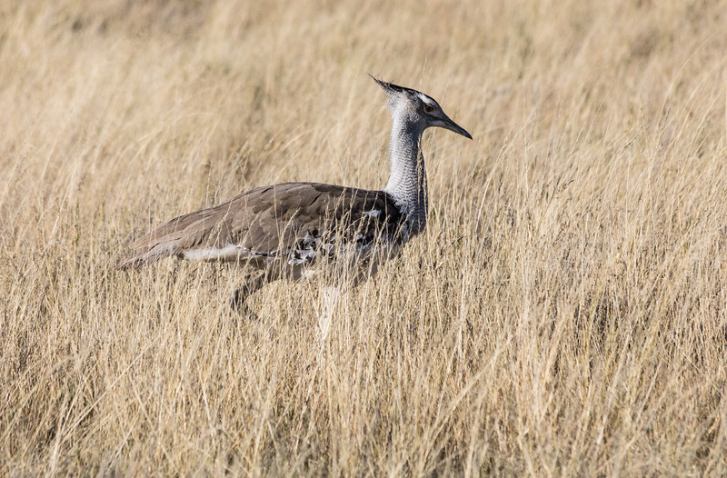 A  Kori Bustard in the tall savannah grass