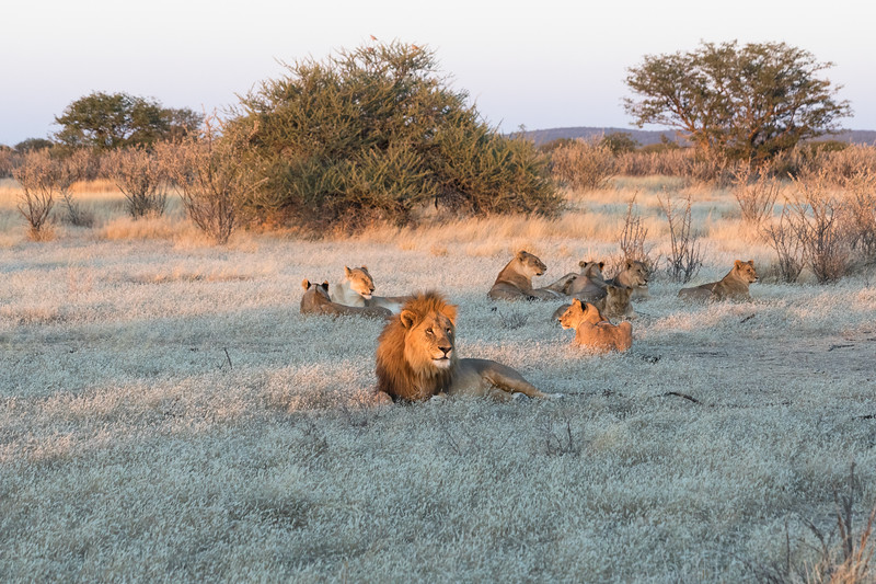 Lions enjoying the last sun rays