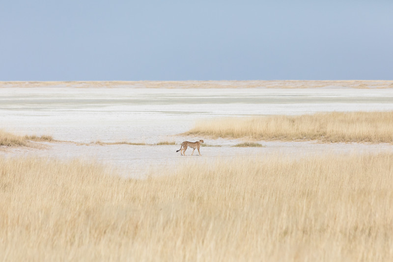 Precious cheetah in the Etosha Natinal Park