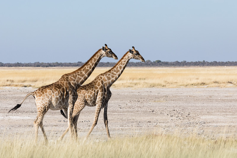 Two giraffes in a hurry