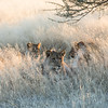 Four lion cubs hiding in the savannah grass