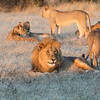 Happy lion with his harem and cubs