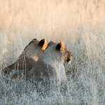 Two young lions in the sunset light