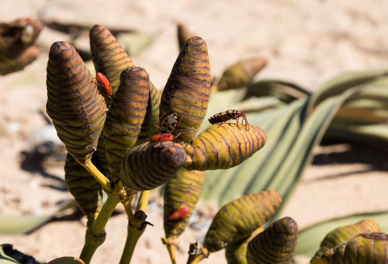 Insects pollinating cones of Welwitschia plant